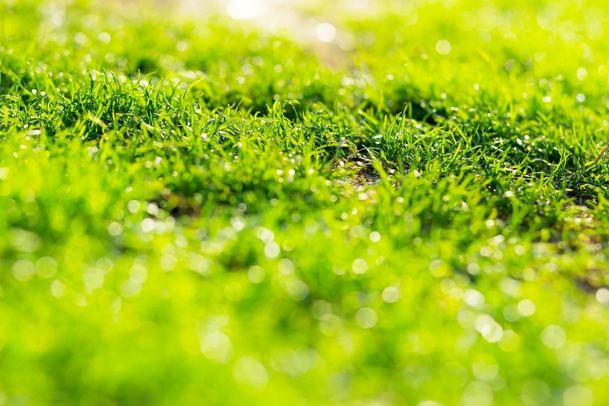 зелена трева след косачка